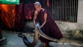 Myanmar monk creates refuge for snakes at monastery. Viral pics