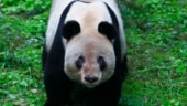 World's oldest captive giant panda dies at 38 in China zoo