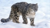 Snow leopard at Kentucky zoo in US tests positive for coronavirus