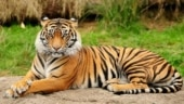 Please act, protect tigers from wire snares: Animal rights body urges govt