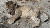 Lion cub named Simba born via artificial insemination at zoo in Singapore