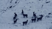 How heavy snowfall in Kashmir leaves wildlife in upper reaches without food and water