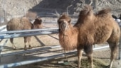 Indian Army to induct double-humped camels to assist with patrolling in eastern Ladakh