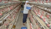 Poultry sales hit by up to 50% across north India as bird flu scare grows