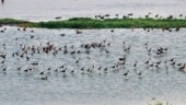11.42 lakh birds of 190 species have already visited Odisha's Chilika Lake in 2021: Officials
