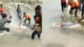 Watch: Rare Gangetic dolphin hacked to death by locals in UP's Pratapgarh, video goes viral