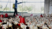 No scientific report of bird flu transmission to humans; states shouldn't curb poultry sales: Union Minister Giriraj Singh