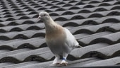 'Fake' US leg band may save pigeon from getting killed in Australia over quarantine rules