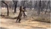 Two tigers fight deadly battle in viral video. Clash of the Titans, says Twitter