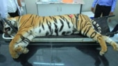 Tigress Avni killed as per court order, cannot interfere now: SC