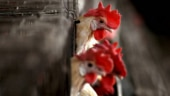 Russia reports world's first case of human infection with H5N8 bird flu