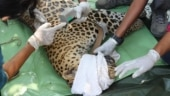 Mumbai: Another radio-collared leopard released in Sanjay Gandhi National Park