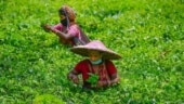 Assam govt hikes daily wage of tea garden workers by Rs 50