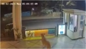 Lion enters hotel in Gujarat's Junagadh. CCTV videos go viral
