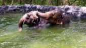 Elephants beat the summer heat in gigantic swimming pool at zoo in Pune
