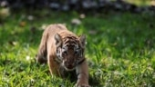 Tigress Avni's female cub released into wild after two years