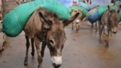 Donkey meat in high demand in Andhra over healing, sex drive enhancing claims
