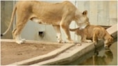 Lioness pushes cub into waterhole. Viral video shows what happened next