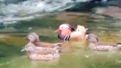 Rare Mandarin duck spotted in Arunachal Pradesh. Pema Khandu tweets viral video