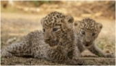 Leopard cubs reunite with their mother after successful rescue operation. Viral story