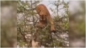 Tiger attempts to attack monkey in viral video. See what happened next