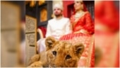 Pakistani couple uses sedated lion cub for wedding photoshoot in viral video. Internet is furious
