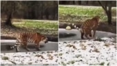 Hilarious viral video shows tiger walking on thin ice. See what happened next