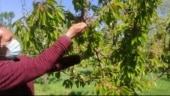 Unusual rain, snow in parts of Kashmir cause distress among apple, cherry farmers
