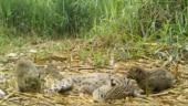 Adorable family of fishing cats caught on camera near Chilika Lake. Rare viral video