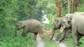 Elephant herd goes for a morning walk in delightful viral video. Watch