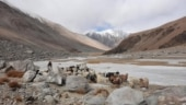 Shrinking pastureland in eastern Ladakh sounds death knell for pashmina goats