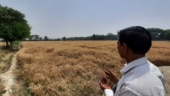 Narela farmers wait for MSP as ripe, dried crops become tinderbox on verge of disaster