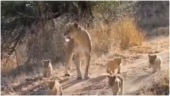 This viral video of a lioness and her cubs will make you smile. Watch