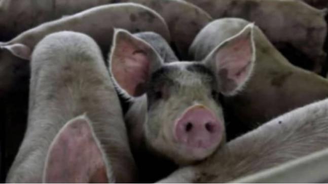 Swine flu spread through imported pigs: Mizoram Minister