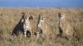What delayed the introduction of African Cheetah into Indian reserves?