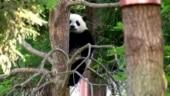 Adorable panda cub makes his debut at the Smithsonian National Zoo