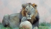 Differently endangered: Why the lions are most vulnerable to Covid