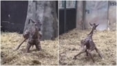 Baby giraffe takes its first steps in viral video. Internet hearts it