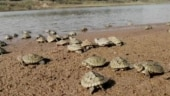 Agra: Poachers make off with two dozen baby turtles, wildlife officials hot on their trail