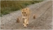 This viral video of a lioness and her tiny cubs will make you smile. Don't miss the message
