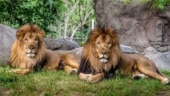 Lion at Etawah Safari Park tests Covid-19 positive