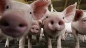 African Swine Fever continues to wreak havoc in Mizoram; 4,650 pigs killed in 2 months