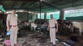 Maharashtra: Illegal slaughter house busted in Raigad, 5 held