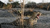 The leopard library: Two new books on the big cats