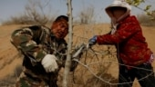 China farmers push back the desert, screen Beijing from sand- one tree at a time