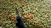 4,000 kilos of artificial ripened mangoes seized, destroyed in Trichy