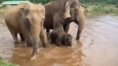 Elephant calf enjoys bathing in a river. Viral video shows what his mother did meanwhile