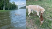 Dog saves fawn from drowning in lake. Heartwarming viral post shows what happened next