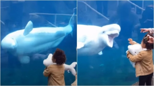 Beluga whale's reaction after seeing stuffed toy in girl's hand is just adorable. Viral video