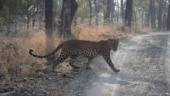 Once abode of tigers, Jharkhand's Palamu Tiger Reserve now home to over 150 leopards